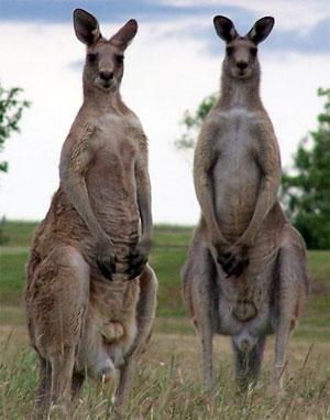 BLCF: kangaroos