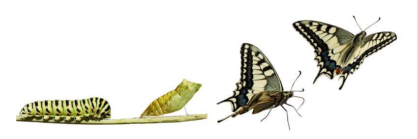 BLCF: transfigured-caterpillar-butterfly